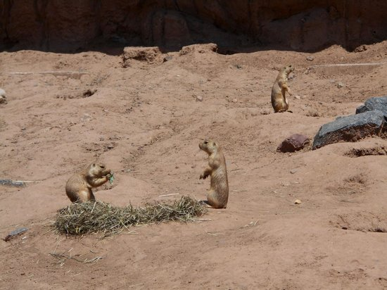 Lake Superior Zoo & Zoological Society: Prairie Dogs
