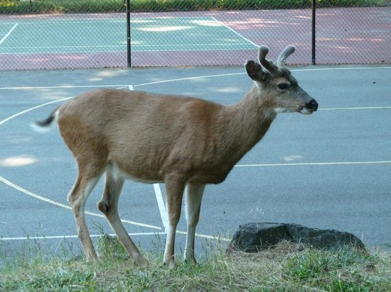 Poets Cove Resort & Spa: Deer by the tennis courts