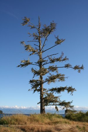 Salty Towers Oceanfront Cottages: Tree on Whiffin spit