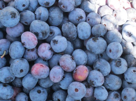 Greig Farm - Pick Your Own Blueberries