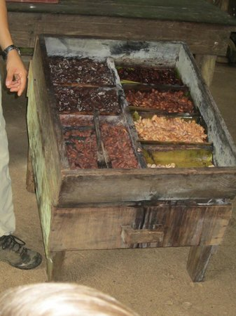 Tirimbina Biological Reserve: Fermenting cacao