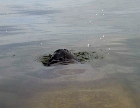 Estero Bay Tours: This manatee swam directly under our kayak! I felt his air bubbles on my feet!