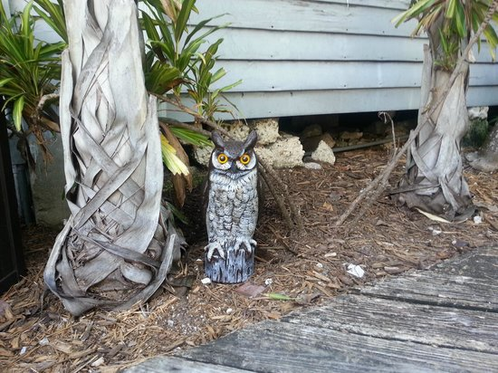 Lighthouse Court Hotel in Key West : owl by pool