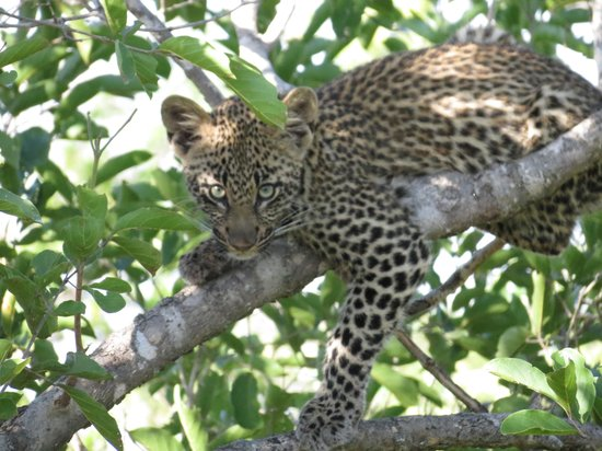 Outlook Lodge Lakefield: Baby Leopard
