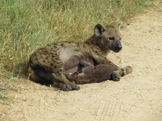 Outlook Lodge: Hyena mom honors us by nursing her baby right beside us
