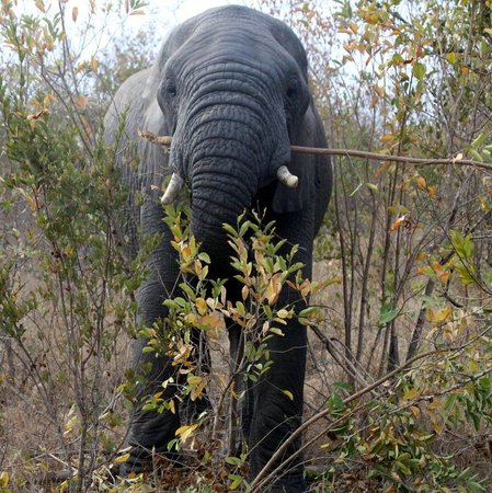 Imbali Safari Lodge: Elephant uprooting dinner