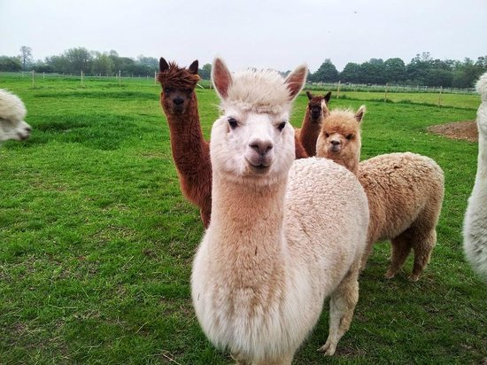 Abbotts View AlpacasAbbotts View Farm: Fluffy girls posing for picture