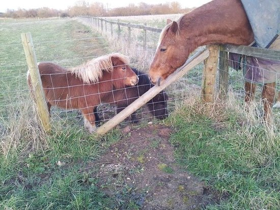 Abbotts View AlpacasAbbotts View Farm: Our miniature pony foals meet a REAL horse