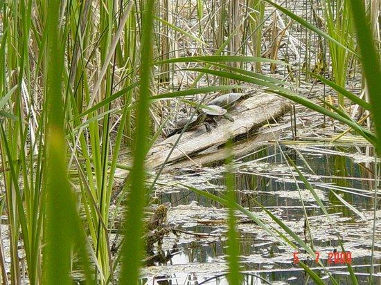Sunny Shore Fishing Resort: Turtles sunning themselves.