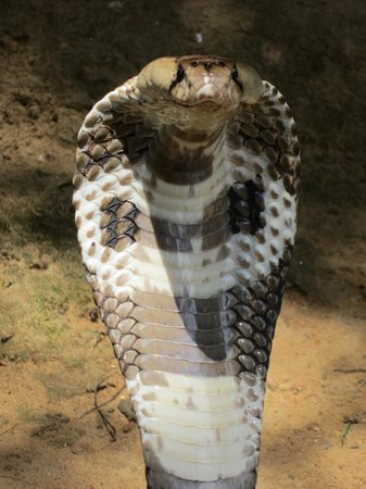 Snake Farm: COBRA! The snake expert took this extreme close-up; I was too scared.