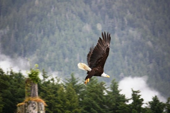 Gallant Adventures: The eagles are bigger in Alaska than in SW Florida!