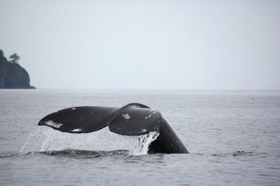 Gallant Adventures: Grey Whale dive