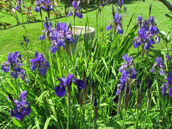 Owen House Country Inn and Gallery: Native Iris