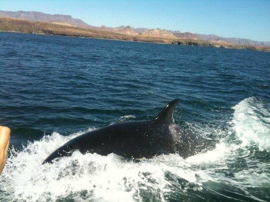 Hotel Posada San Martin: Avista-miento Ballena Orca mar de cortes Julio de 20132