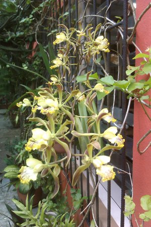 Cool M Farm : Encyclia Alata from our small orchid collection