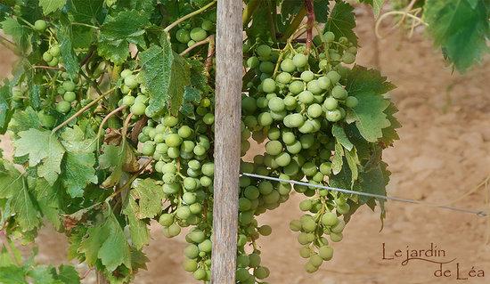 Vignes picture of le jardin de lea aix en provence for Les jardins de lea