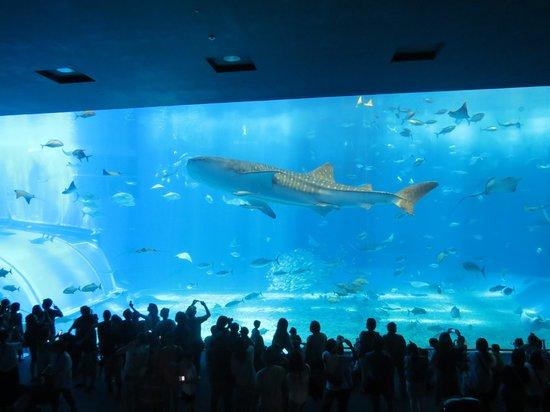 Whale shark - Picture of Okinawa Churaumi Aquarium, Motobu-cho - TripAdvisor