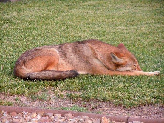 Furnace Creek Inn and Ranch Resort: Un coyote... pas vil !