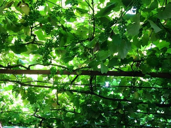 Neighborhood Restaurant: A cool canopy of grapevines
