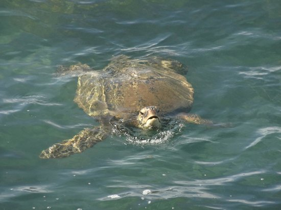 Poipu Shores Resort: Turtle friend seen from pool deck