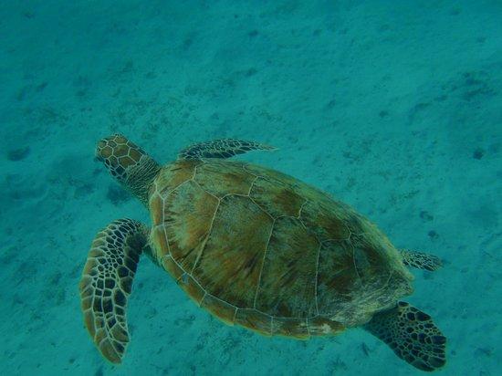 Gorgonia Beach Resort: tortue du lagon