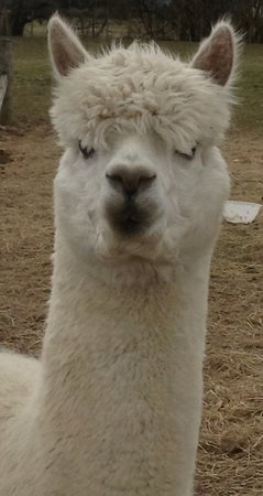 Robertson's The Larder Tomich Farm Shop and Childrens Farm: Griff our lovely alpaca