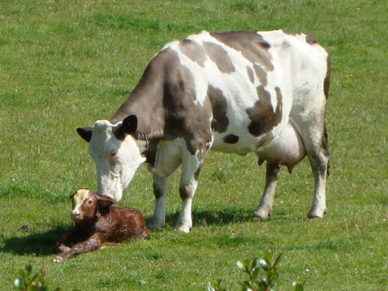 Garron View: Cow and her calf