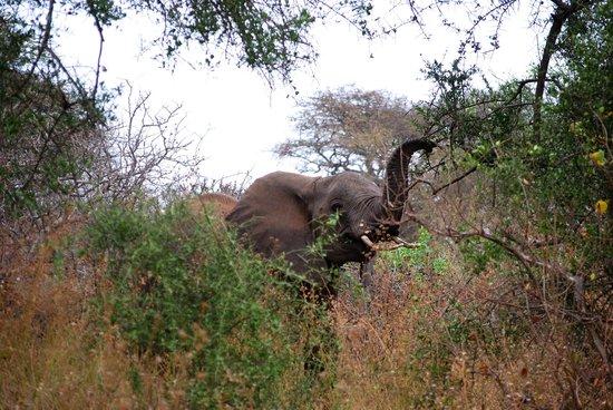 Campi ya Kanzi: Elephant