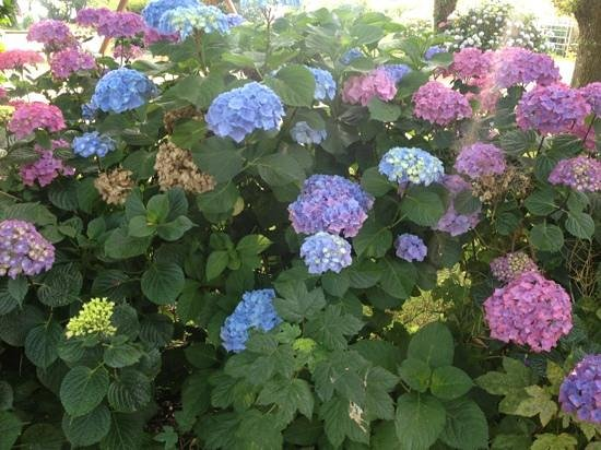 Camping du Moulin D'Aurore: hydrangea everywhere