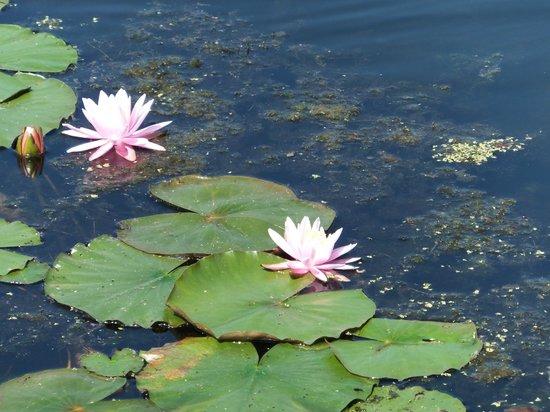 Lake Mocatek Inn: Water lilies on Lake Mocatek
