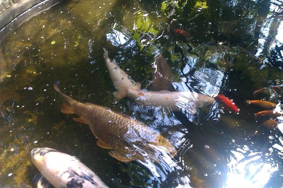 Inverness Botanic Gardens: Carp