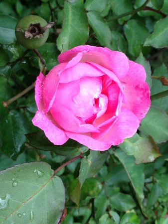 Finca Lindos Ojos: Story has it all the roses on the finca are decendents from two plants grown by a street childre