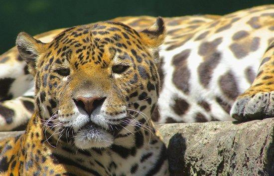Giaguaro 1 Foto Di Giardino Zoologico Di Pistoia