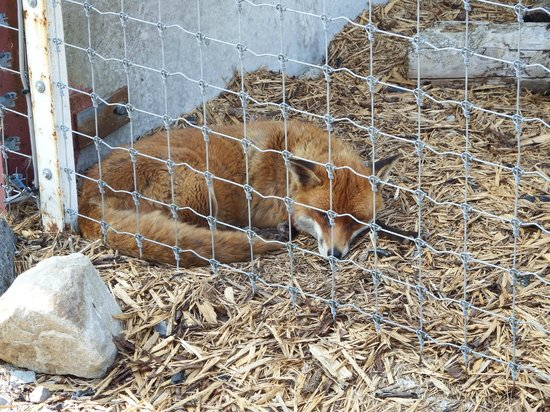 Wales Ape and Monkey Sanctuary: The red fox was a suprise