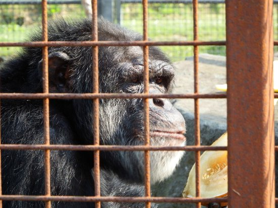 Wales Ape and Monkey Sanctuary: He really was enjoying his melon