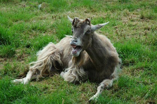 Trewetha Farm B&B : Laughing goat!