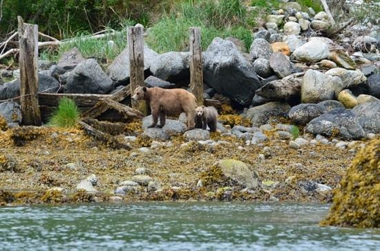 Knight Inlet Lodge: bella and cubs
