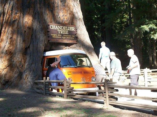 Volkswagen Vanagon Stuck in Leggett Drive-Thru Tree - Picture of ...