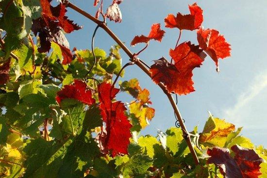 DiGiorgio Family Wines: Autumn in Coonawarra