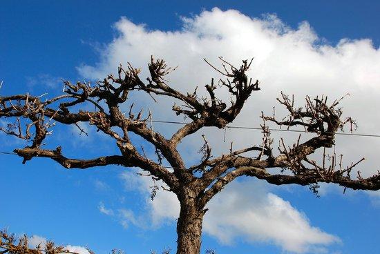 DiGiorgio Family Wines: Winter vines