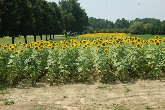 Inn at Huntingfield Creek: View of the Sunflowers