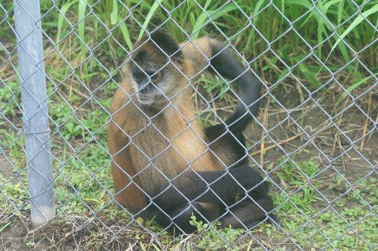 Parque Nacional Curu: Very curious spider monkey