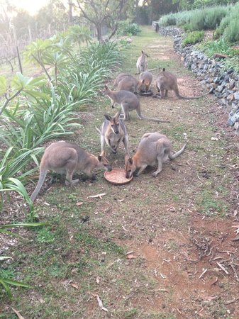Wallaby Ridge Retreat : Wallaby feeding time