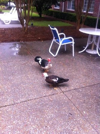 Extended Stay America - Charleston - Airport: ducks in the outdoor lobby very friendly