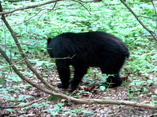 Cades Cove Riding Stables: Bear we saw
