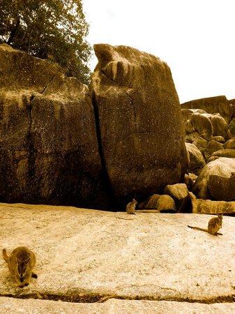 Granite Gorge Nature Park: Rock Wallabies