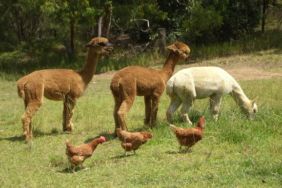Kurrajong Heights, Australia: Alpacas and chickens