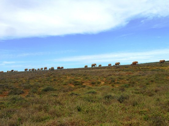Kwantu Private Game Reserve - Day Visits: Elephant herd at Addo