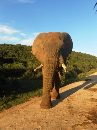 Kwantu Private Game Reserve - Day Visits: Bull elephant at Addo