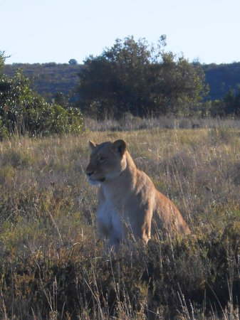 Kwantu Private Game Reserve - Day Visits: Beth, one of the lionesses on the reserve, in the early morning sunshine